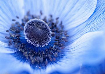 Le magnifique coeur bleu d'une anémone sur