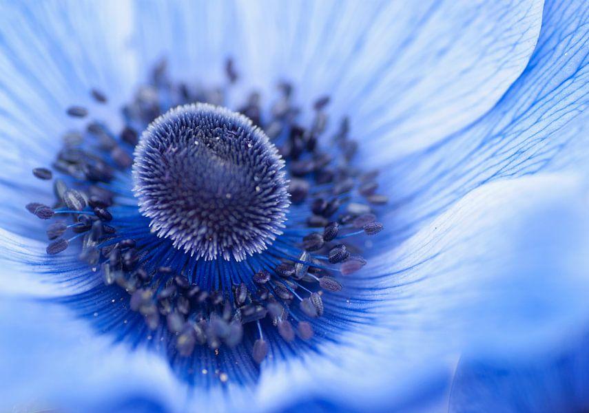 Het prachtige blauwe hart van een anemoon van Birgitte Bergman