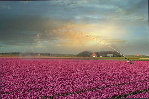 Nederlands tulpenveld
