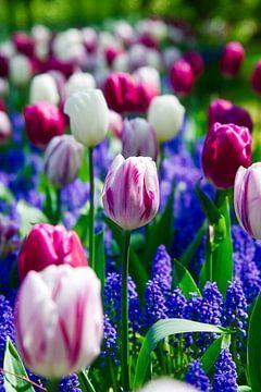 Ein schönes Tulpenfeld, violett, rosa, weiß und grün von Wendy Tellier - Vastenhouw