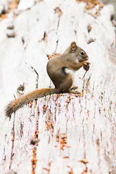 Yellowstone eekhoorn van
