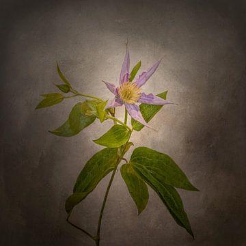 Grazile Blume - Die Clematis | Vintage-Stil von Melanie Viola