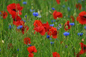 Klaprozen en korenbloemen in een veld  van