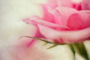 Zartrosa Rose