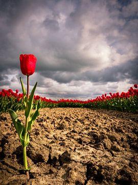 Eenzame tulp van Philippos Kloukas