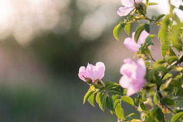 wilde roos van Tania Perneel
