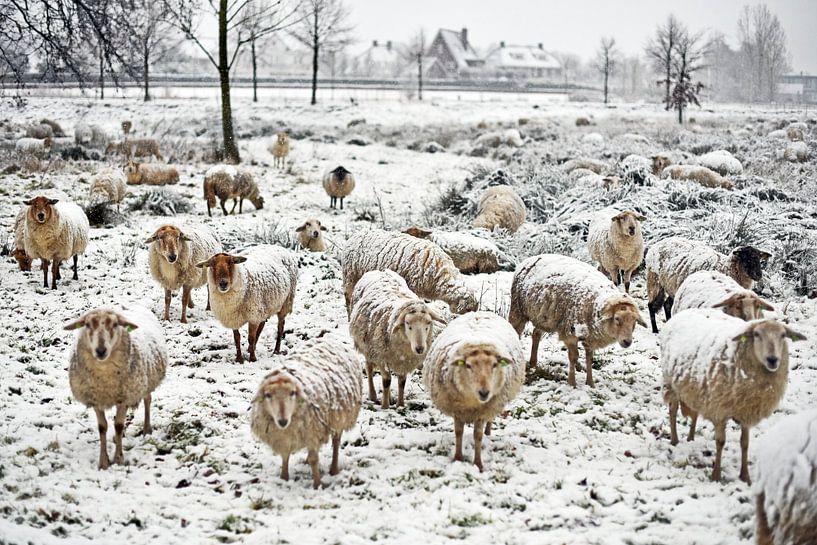 Schapen in de sneeuw van Inge Hart Photography
