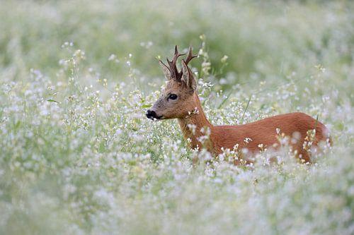 Rehbock *Capreolus capreolus* im Blütenmeer van wunderbare Erde