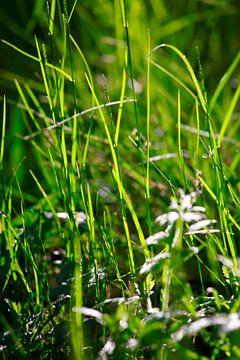 Grassen in het avondlicht van Thomas Jäger