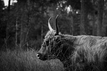 Grauwe schotse hooglander in het wild van Jorn Weijts
