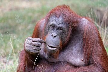 Orang-oetan van