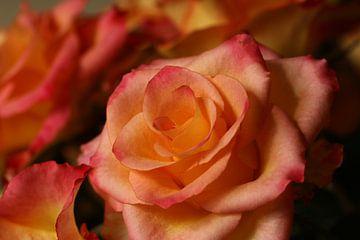Eine Rose im Morgenlicht von Pim van der Horst