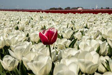 Bollenveld, witte tulpen met 1 rood van Gert Hilbink