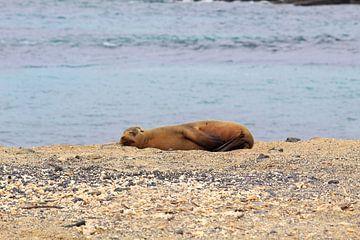 Galapagos zeeleeuw van