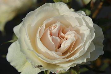 Witte Roos von