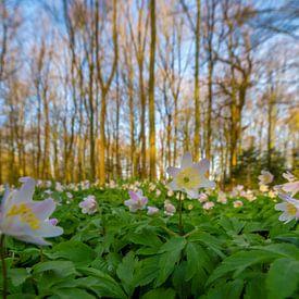 Buschwindröschen im Wald von Richard Guijt Photography
