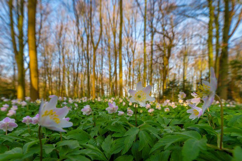 Bosanemonen in bos van Richard Guijt