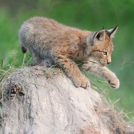 Luchs ( Lynx lynx ), Jungtier, spielt vergnügt auf einem kleinen Sandhügel, schlägt mit der Pfote, j sur wunderbare Erde