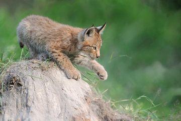 Luchs ( Lynx lynx ), Jungtier, spielt vergnügt auf einem kleinen Sandhügel, schlägt mit der Pfote, j von wunderbare Erde