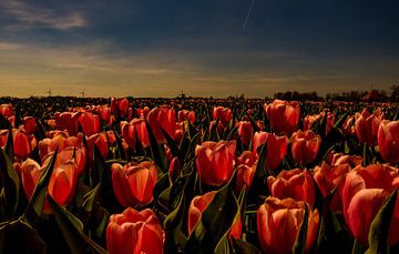 Tulipmania van Peter Heins