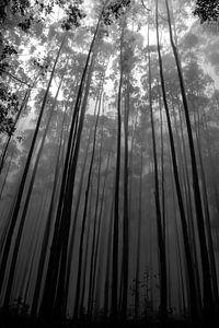 Hoge bomen van