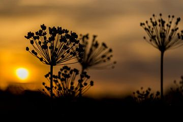 Zonsondergang berenklauw van Neil Kampherbeek