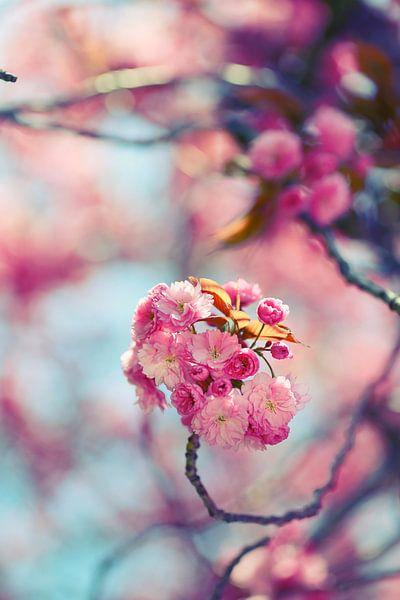 prunus van Els Fonteine