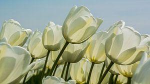 DE witte tulp.