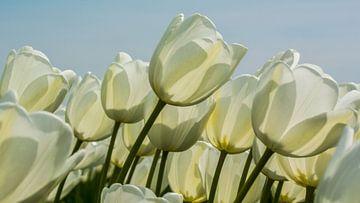DE witte tulp. van