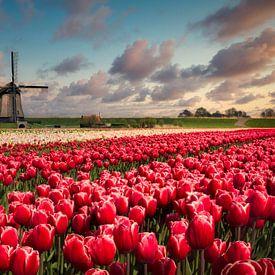 Tulipes et Moulin à vent sur Peter Bolman