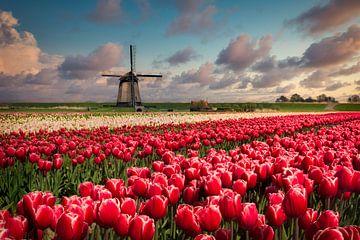 Tulpen en molen van Peter Bolman