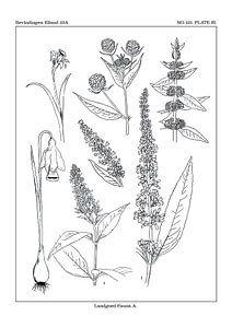 Flores notitia kaart A