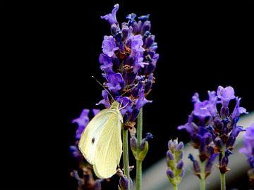 Vlinder op lavendel van Jake's shop