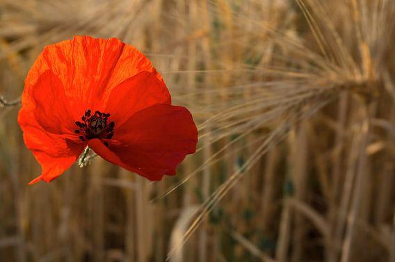 De rode klaproos van Joris Pannemans - Loris Photography