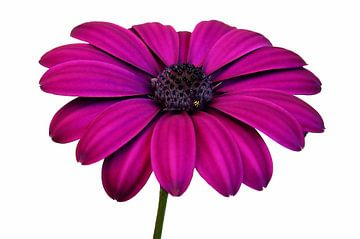 Pink daisies van Ioana Hraball
