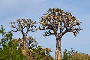 Kokerbomen van