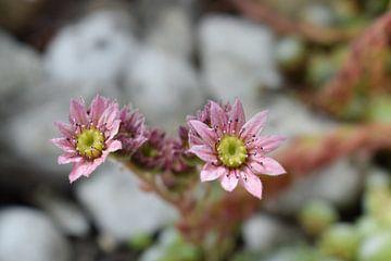Rosa Kaktusblüten von Sama Apkar