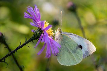 Weißer Schmetterling auf violetter Blüte von Annika Westgeest Photography