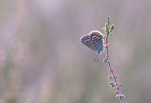 Vlinder in het roze
