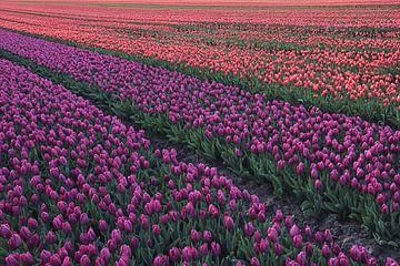 Tulpenveld van Bob Bleeker