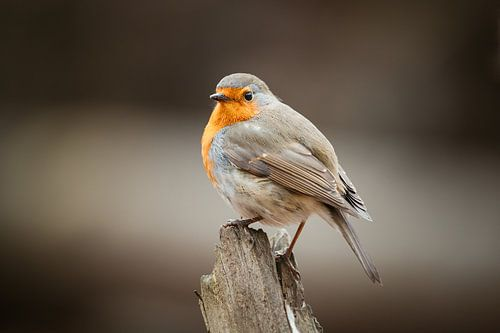 Robin à la pose imposante sur un tronc d'arbre