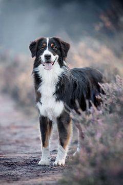 Australian Shepherd in de heide van Lotte van Alderen