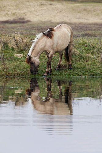 Konikpaard in Kennemerduinen  van