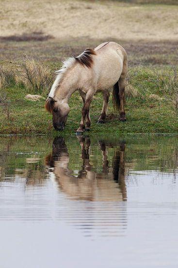 Konikpaard in Kennemerduinen