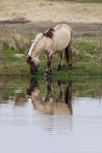 Konikpaard in Kennemerduinen  van Remco Bosshard