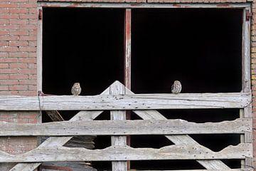 Twee Steenuiltjes op een hek van LTD photo