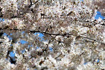 Kirschblüte von Geert Heldens