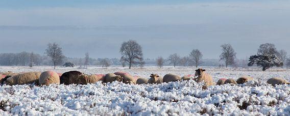 Besneeuwd heide landschap. van Tony Ruiter