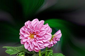 Roze dahlia tegen een kleurrijke abstracte achtergrond van Harry Adam