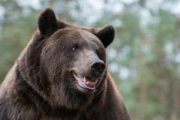 European Brown Bear ( Ursus arctos ), close up, detailed head shot van